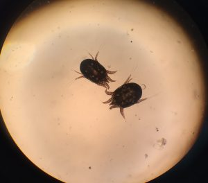 Ear mites under microscope