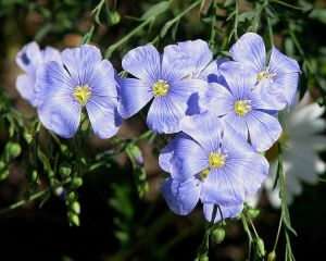 blue flax rabbit and deer resistant flowers for colorado