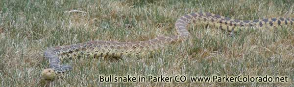 large bullsnake in parker colorado douglas county co