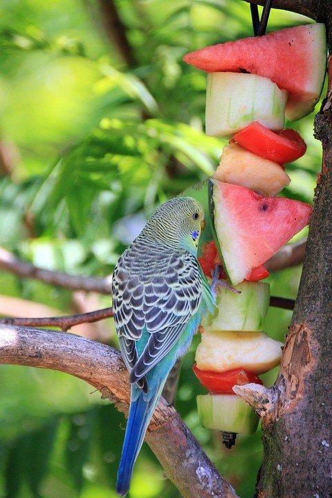 Fruit voer parkieten eten