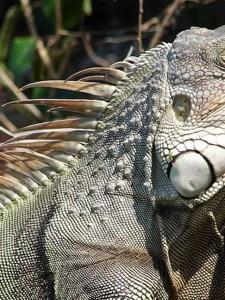 Parkland Community Plans to Shoot Iguanas