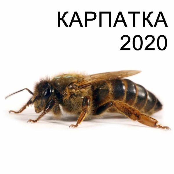 """Матка пчелиная, порода """"Карпатка"""" 2020 года – купить в ..."""