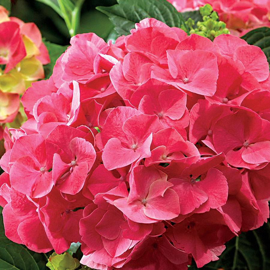 Next Generation 174 Red Sensation Hydrangea From Park Seed