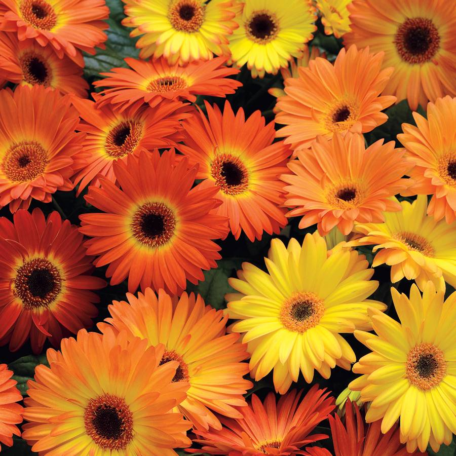 Revolution Yellow Orange Gerbera Daisy Seeds from Park Seed Revolution Yellow Orange Gerbera
