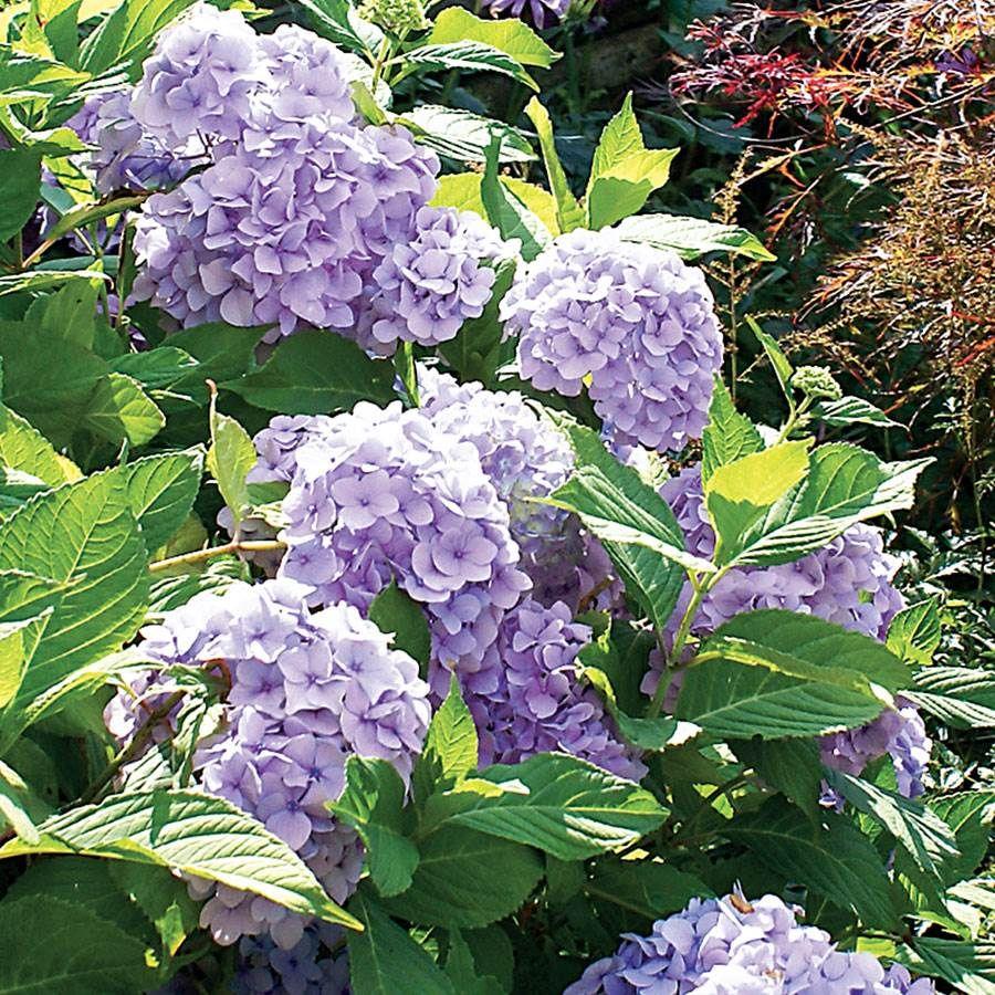 Nikko Blue Hydrangea From Park Seed