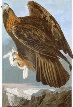 John James Audubon, Golden Eagle (Aquila chrysaetos), Havell plate no. 181, 1833. Watercolour, pastel, graphite, black ink, and black chalk with touches of gouache and selective glazing on paper, laid on card, 96.8 x 64.8 cm (paper), 134.6 x 99.1 cm (mat). New-York Historical Society, New York.