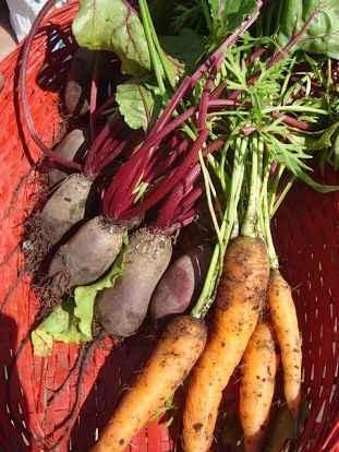 Fresh beets & carrots for sale