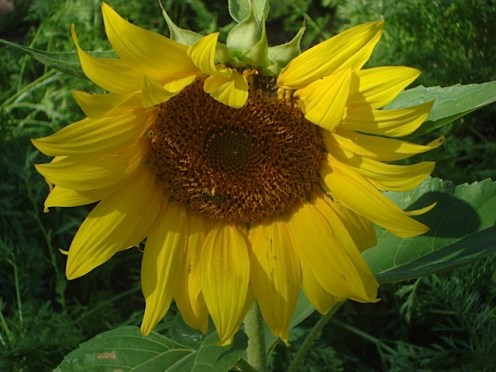 One of the first sunflowers in bloom. Look carefully and you will see a bee!