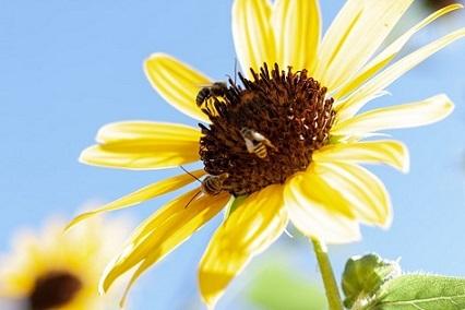küçük arı mücadele