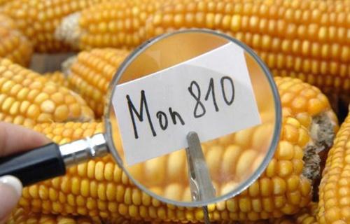 Fra tre giorni, OGM legali in Italia se il governo non si sbriga (update)
