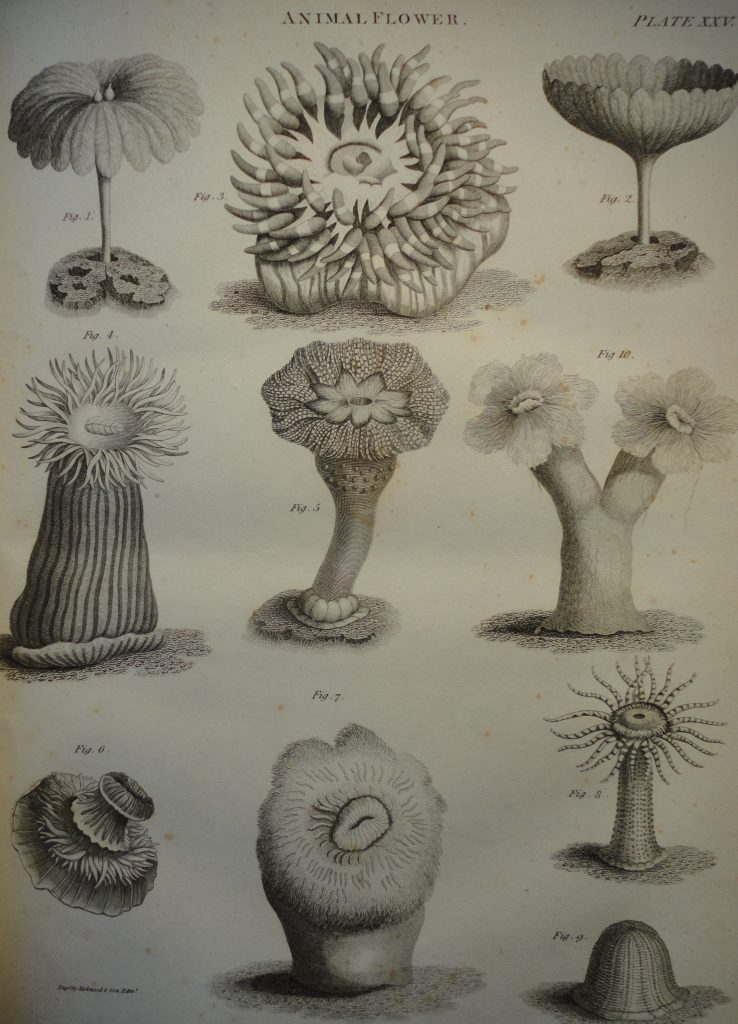 Animal Flowers engraved by Kirkwood and Son