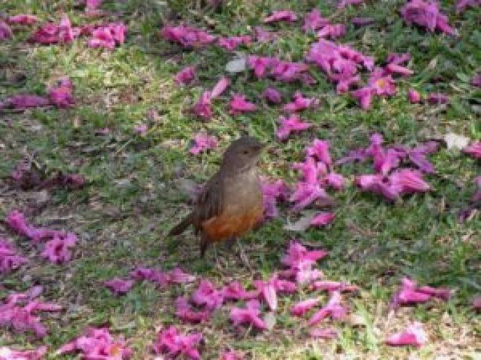 Sabiá-laranjeira entre pétalas de ipê-rosa. Primavera (Foto: Roberto Carvalho de Magalhães)