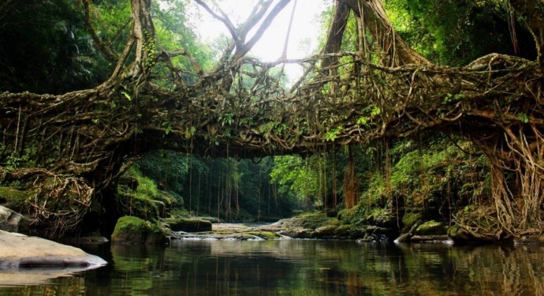 Ponte de raízes de falsa-seringueira no estado de Meghalaya, Índia (Foto: Upek)