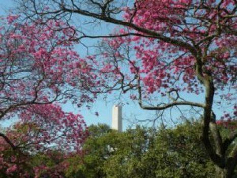 Parque Ibirapuera, ipê rosa e Obelisco. Foto: Roberto Carvalho de Magalhães.