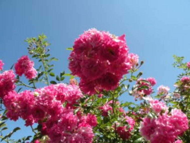 Rosas do Elizabeth Park West Hartford, Ct. Foto Roberto Carvalho de Magalhães.