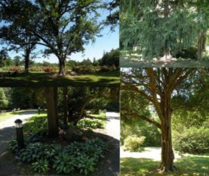 No Elizabeth Park, árvores e plantas nativas, como o carvalho (no alto, à esquerda) convivem com as espécies importadas, como a Picea abies pendula, proveniente da Noruega, o taxus cuspidata, do Extremo Oriente, e a hosta, também oriunda do noroeste da Ásia. Fotos: Roberto Carvalho de Magalhães.