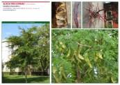 Acacia tres espinas