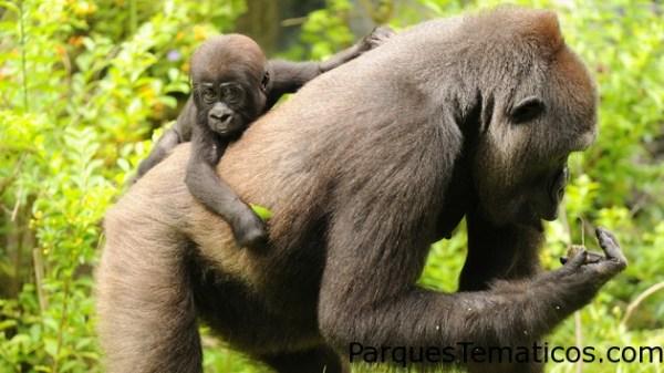 Gorilas occidentales de llanura