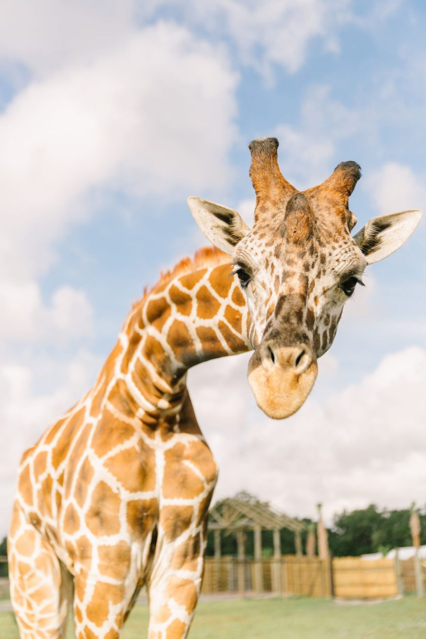 Wild Florida anuncia la gran inauguración del Drive-thru Safari Park