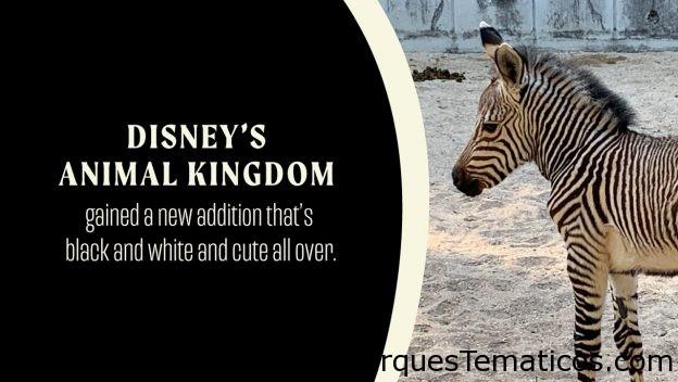 Disney's Animal Kingdom le da la bienvenida al potro cebra