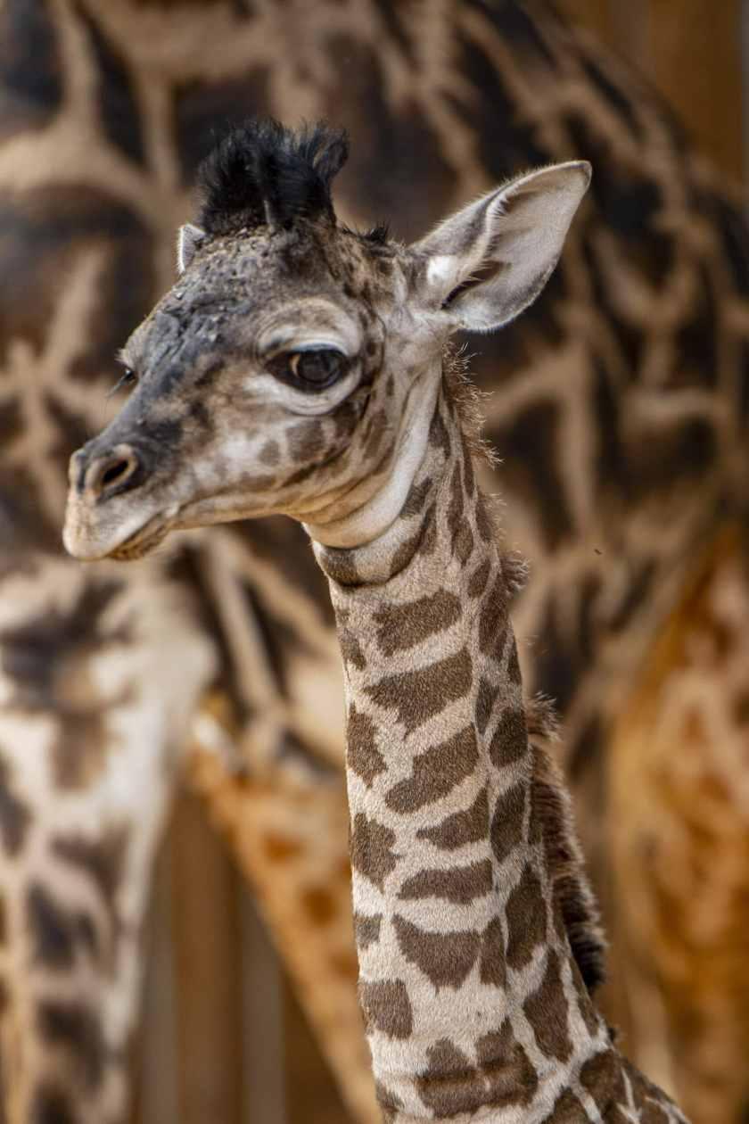 Walt Disney World da la bienvenida al adorable ternero jirafa