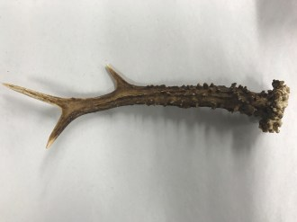 small antler 2