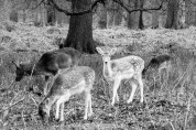 Deer at Dunham
