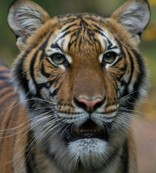 In coronavirus-wracked New York even a zoo tiger tests positive