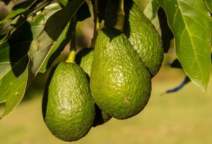 Avocado fruit on plant