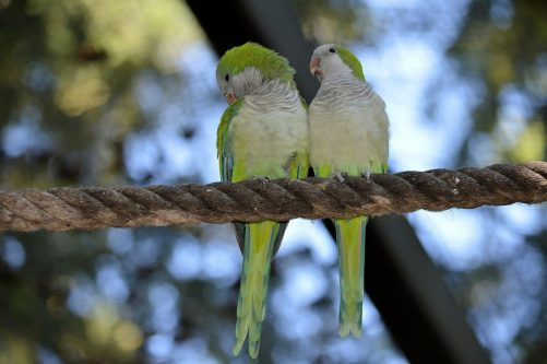 Quaker parrot couple
