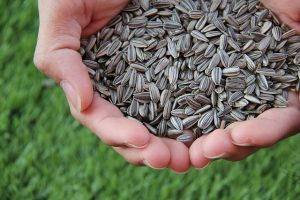 Sunflower seeds in hands.