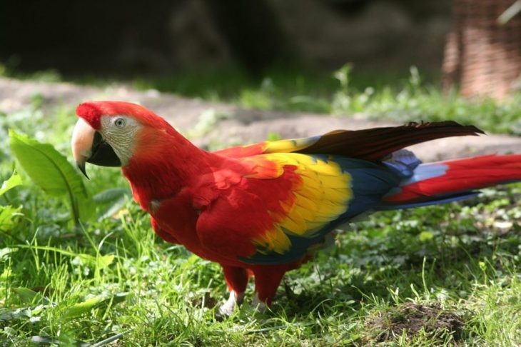 Scarlet Macaw sitting on grass
