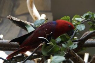 Female Electus parrot sitting in trees