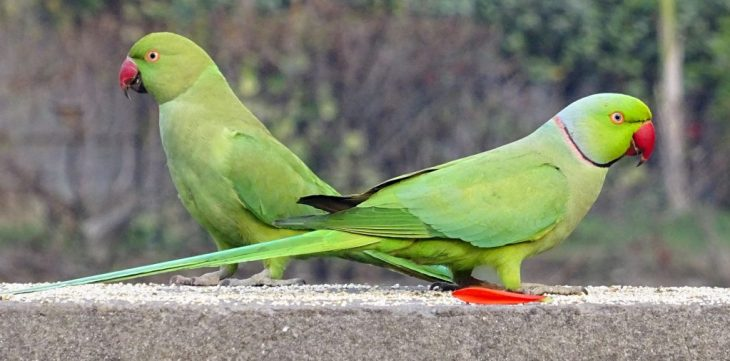 Ring neck parrots male and female