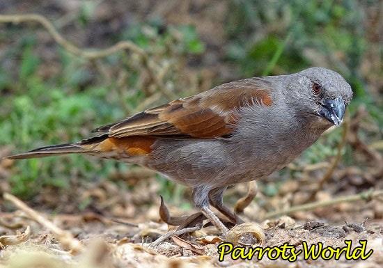Торғай попугая
