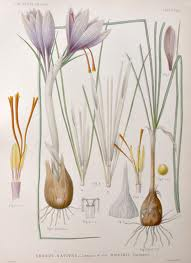 Crocus sativus2