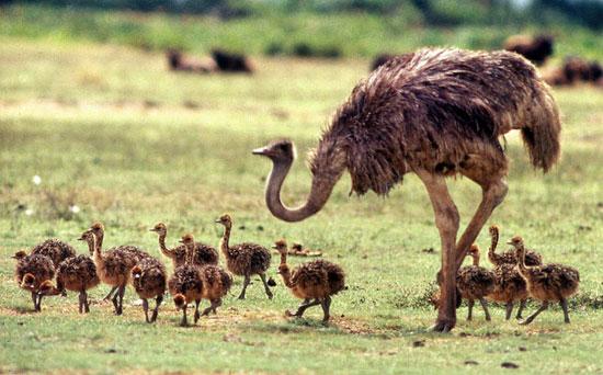 طرح کارآفرینی پرورش شترمرغ