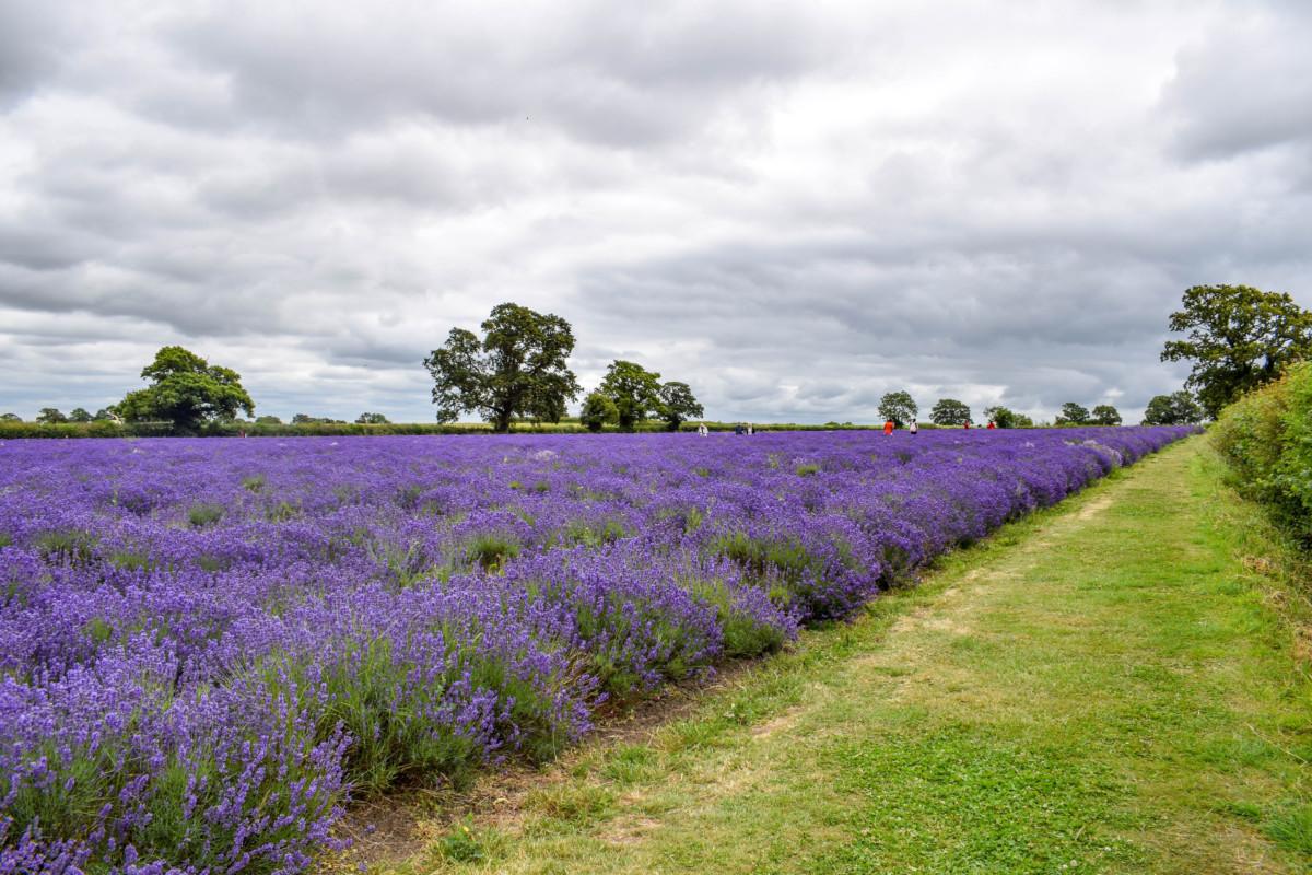 Somerset Lavender Farm fields