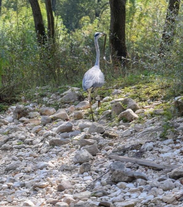 Lake skadar heron with snake