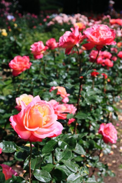 rose garden International Rose Test Garden - Portland, Oregon | ParTASTE