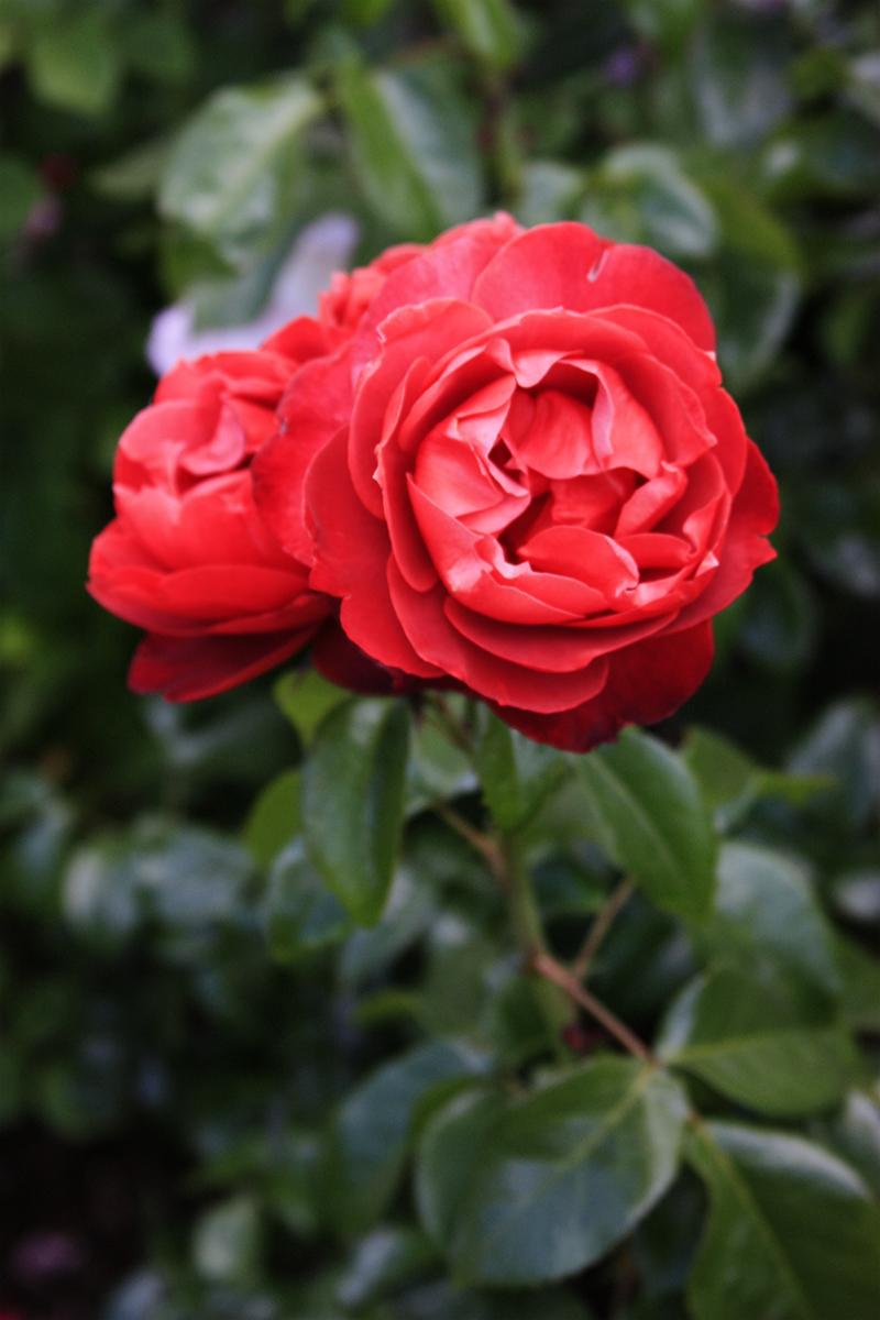 International Rose Test Garden Portland Oregon Partaste