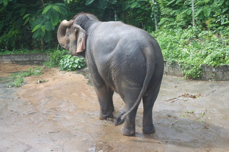 There are lots of huge huge Elephants at this Elephant Camp.