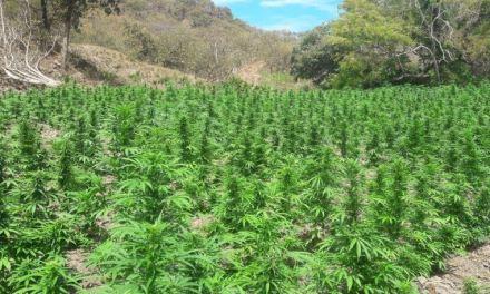 Destruyen 13 mil plantas de mariguana en Tomatlán