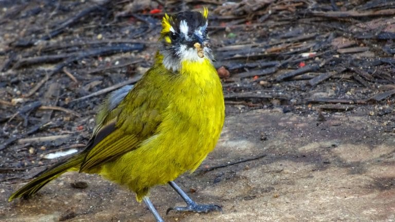 oiseau rare sri lanka