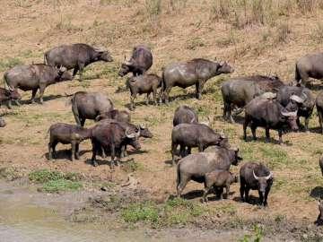 bufle afrique du sud
