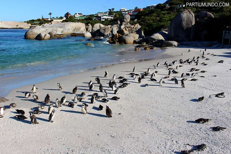 rsz_visiting_the_penguins_at_boulders_beach_21