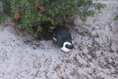 rsz_visiting_the_penguins_at_boulders_beach_3