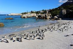 rsz_visiting_the_penguins_at_boulders_beach_7