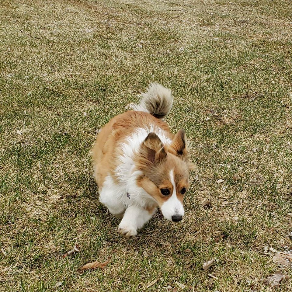 Pembroke Welsh Corgis Partridge Horse Hill