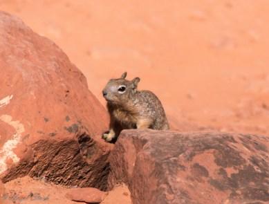 Curious Rock Squirrel